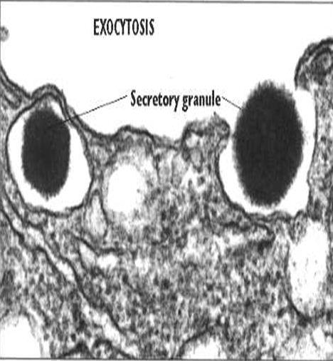 ekzositoz2