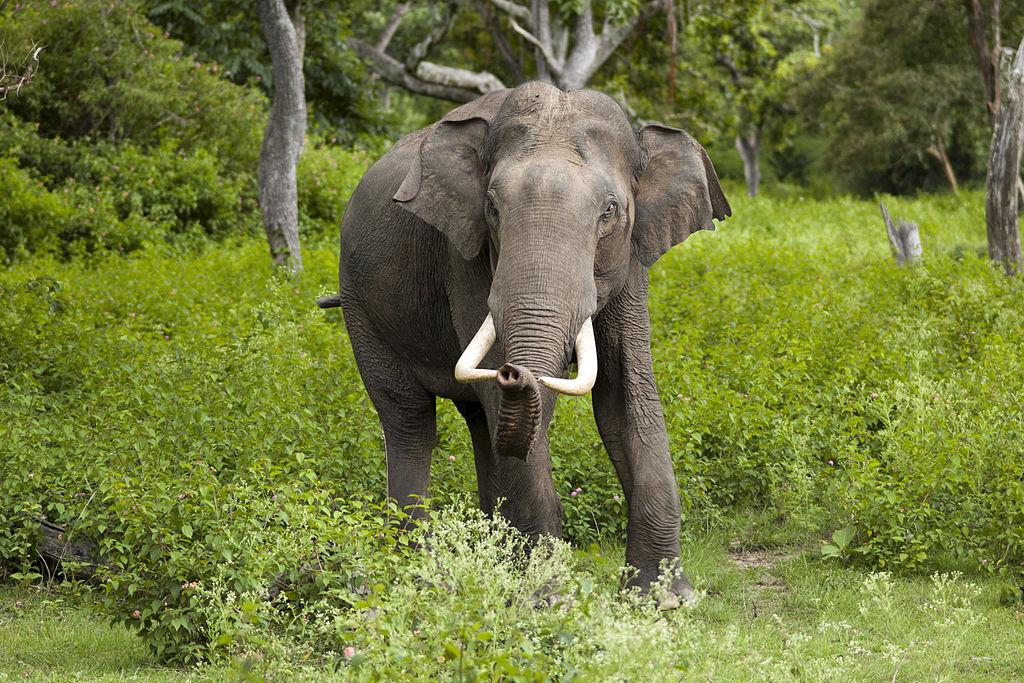 1024px-Elephas_maximus_(Bandipur)