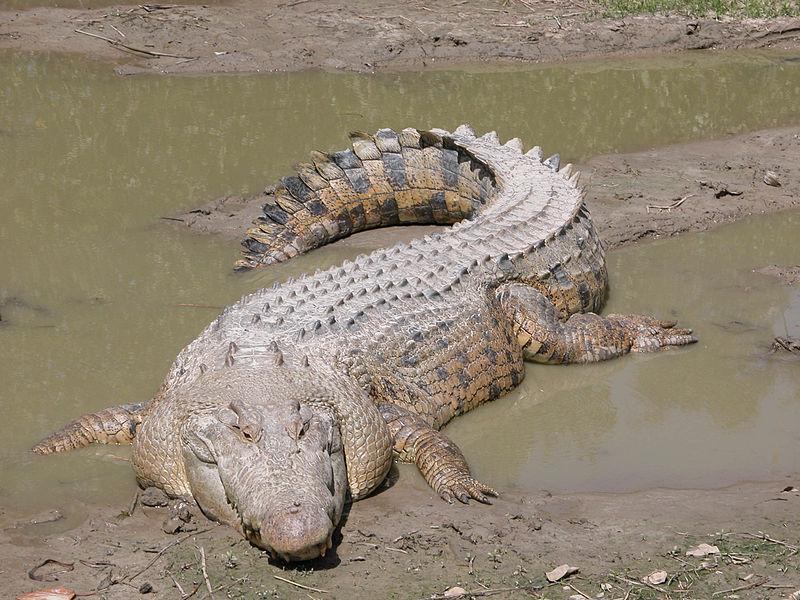800px-SaltwaterCrocodile('Maximo')