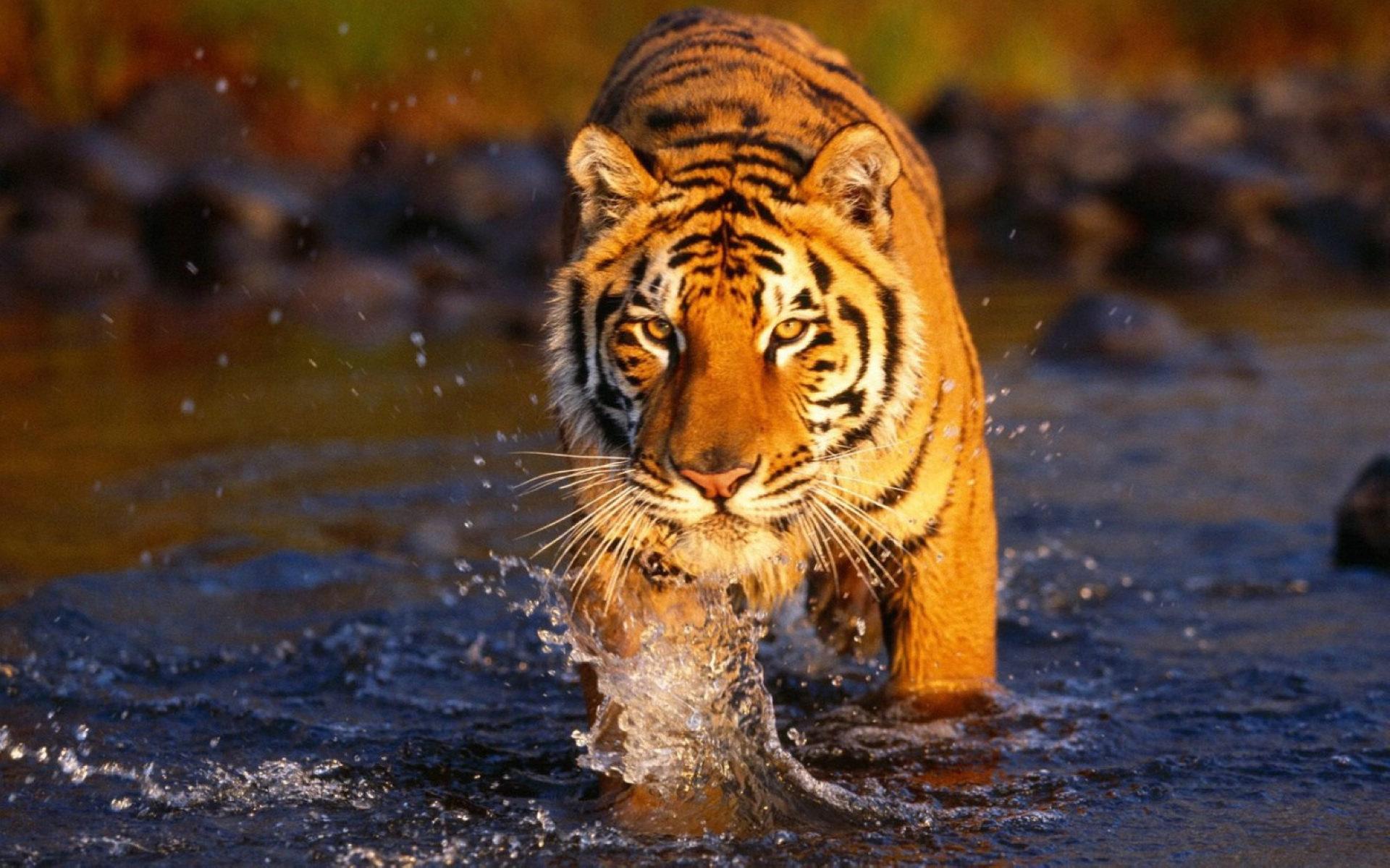 Bengal-Tigers-2