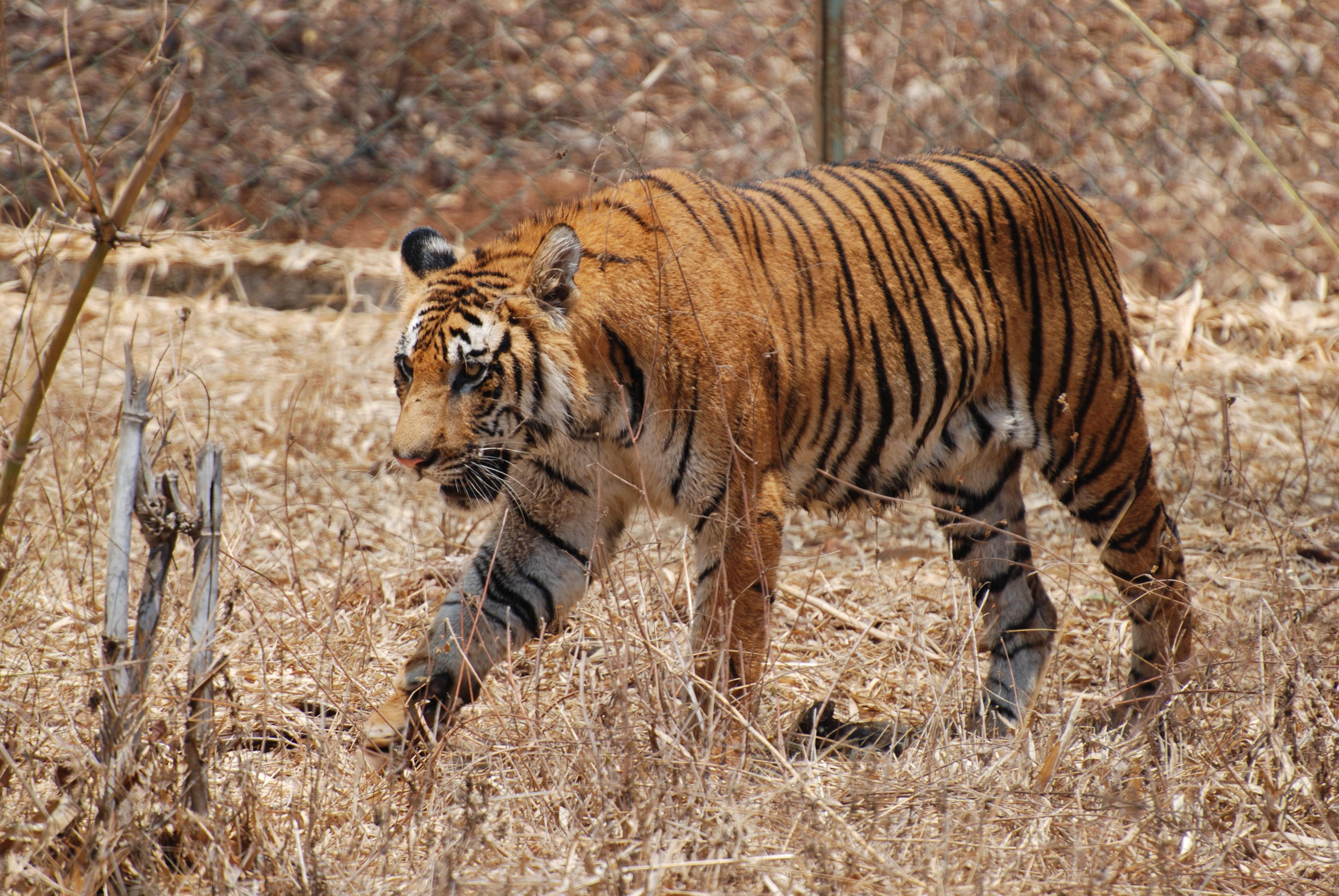 Bengal_Tiger_Karnataka
