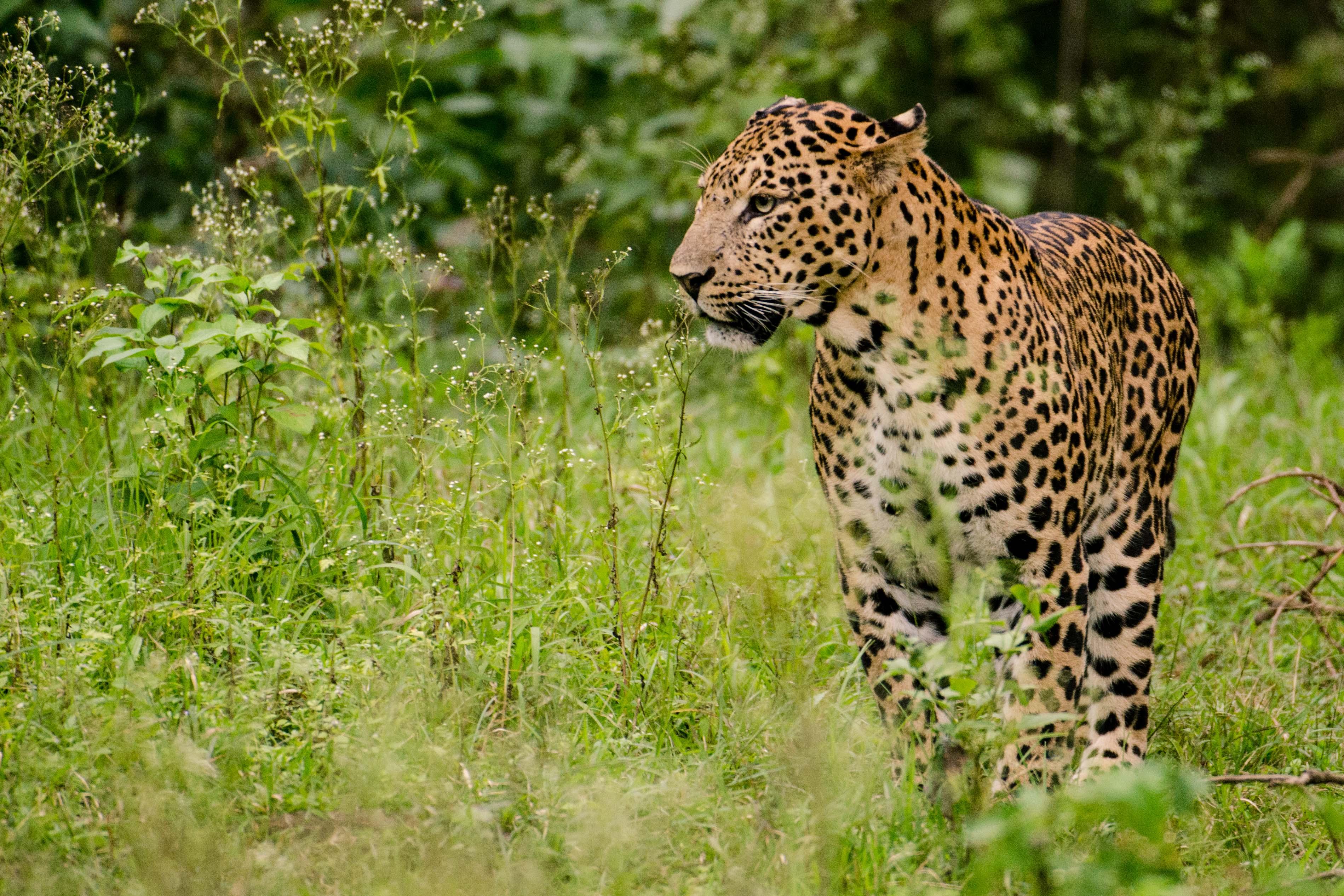 Leopard_Male_Nagarhole