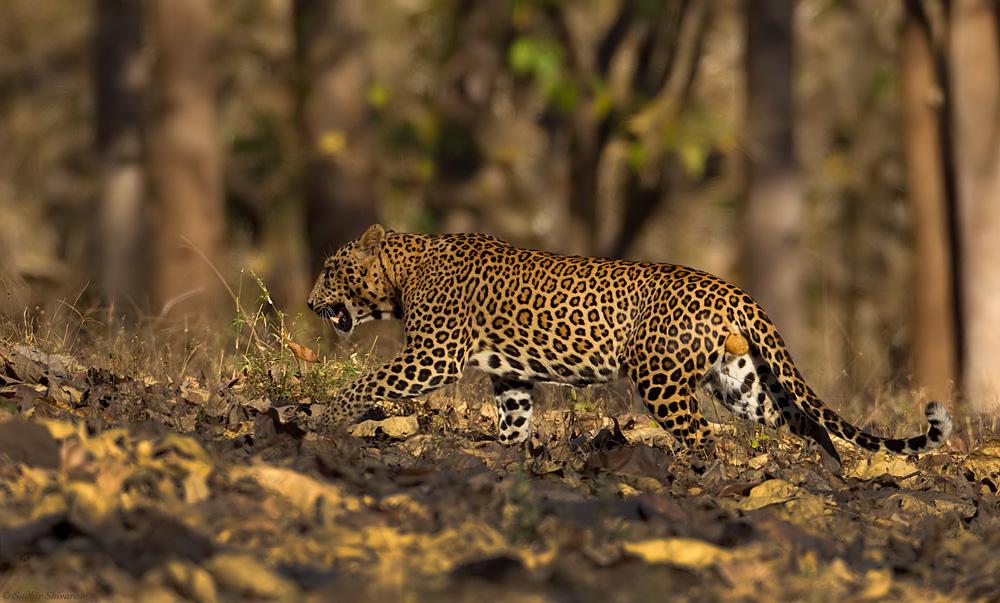 _MG_5023-Leopard